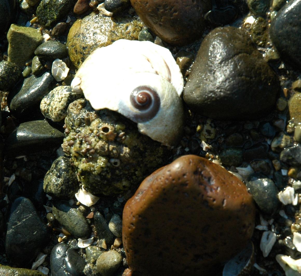 seashell puget